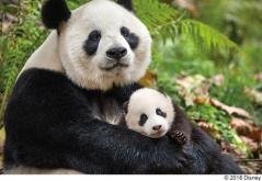 『子パンダや子ザルの愛らしさがたまらない!『ディズニーネイチャー』最新作』